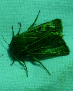 feathered gothic moth